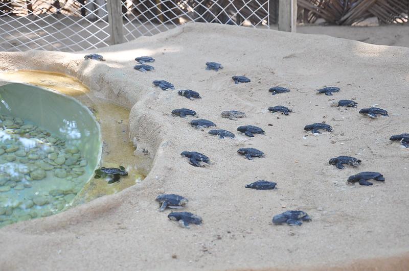 Tartarugas recém-nascidas do Projeto Tamar na Praia do Forte
