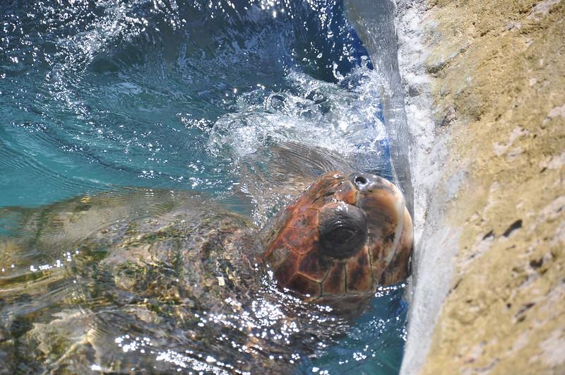 Tartaruga do Projeto Tamar na Praia do Forte